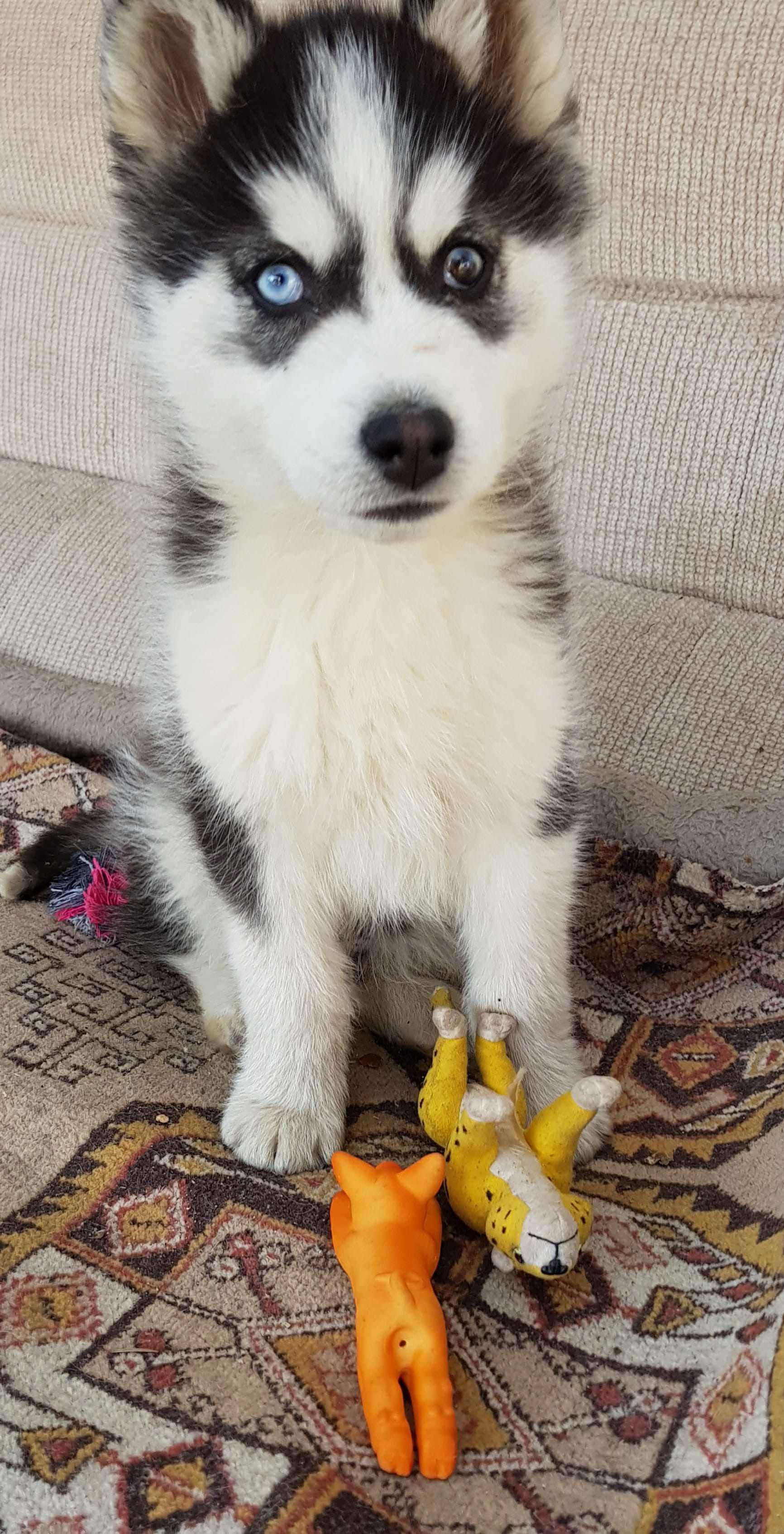 All The Things We All Enjoy About The Bold Siberian Husky Puppies