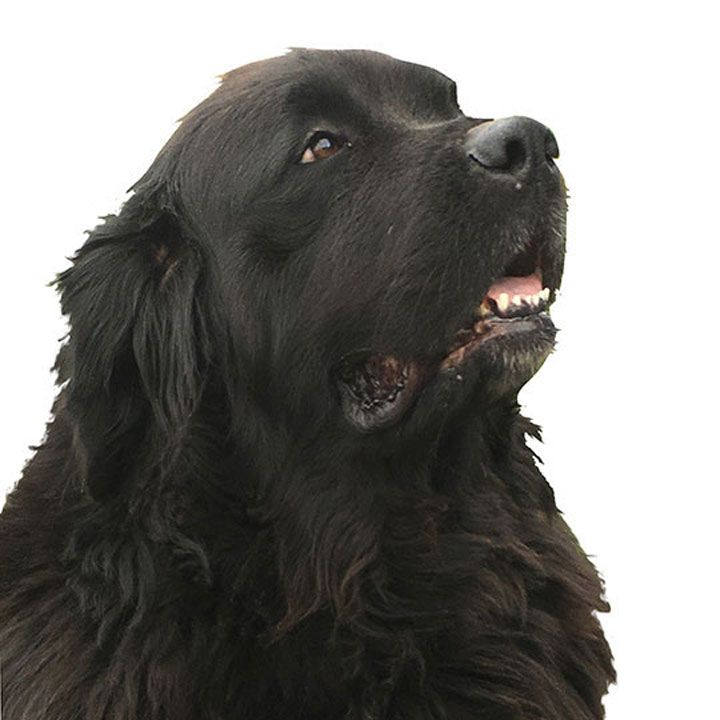 Full Breed Puppies For Sale Buy Dogs Horner Newfoundlands Newfoundland Dog Dogs Newfoundland