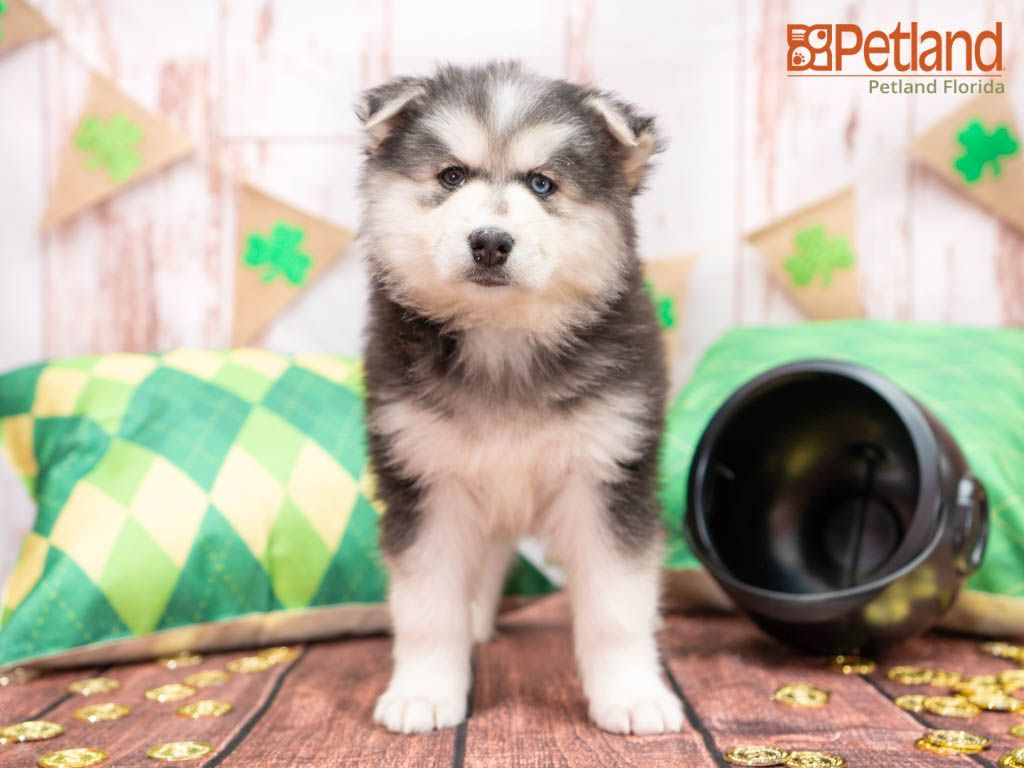 Puppies For Sale Petland Florida In 2020 Puppy Friends Dog Lovers Puppies For Sale