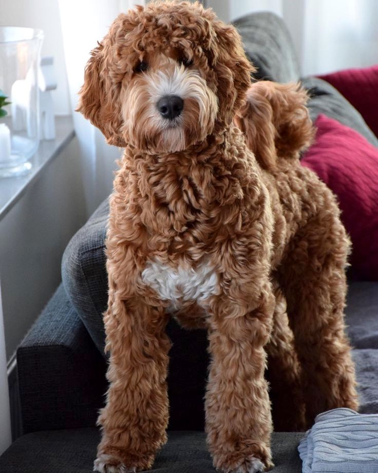 Pin by dog_is_life on labradoodle Labradoodle