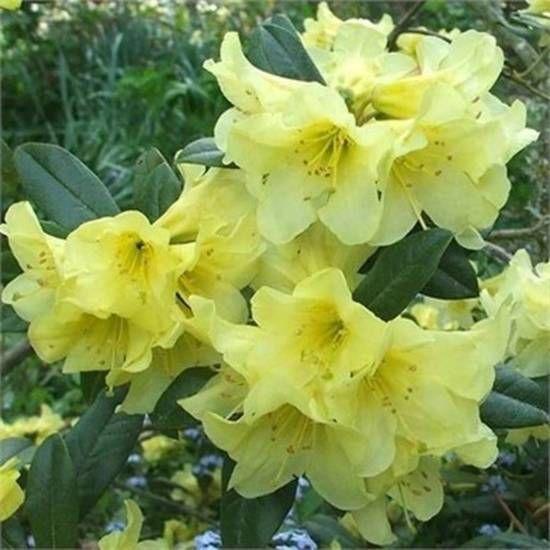Rhododendron saffron queen bright yellow flowers rhododendron rhododendron saffron queen bright yellow flowers mightylinksfo