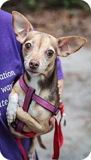 Savannah Ga Chihuahua Mix Meet Cee Cee A Dog For Adoption