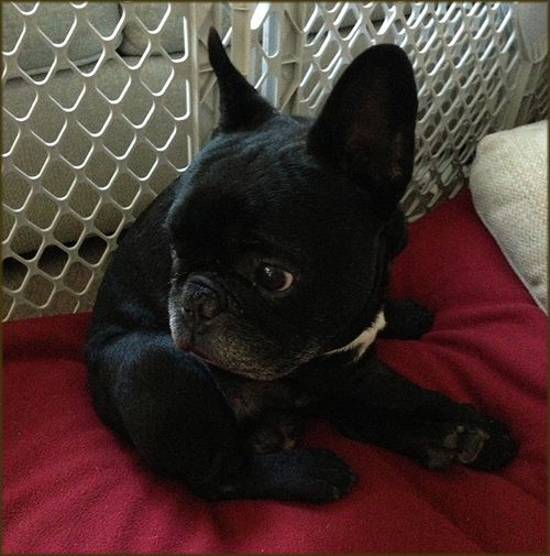 Laggy In Maryland Available French Bulldog Puppies Cute Animals