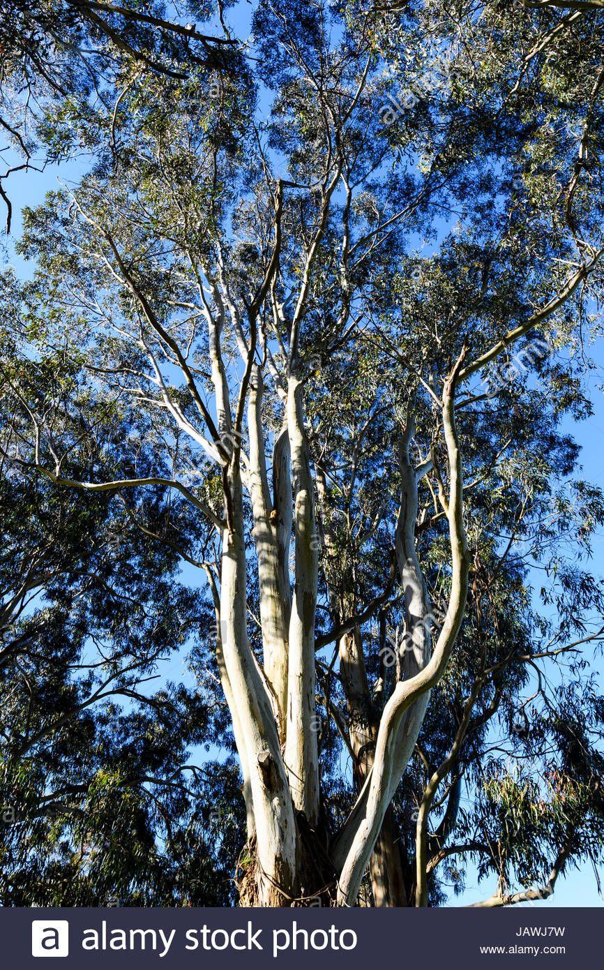 Eucalyptus Globoidea White Stringybark Eucalyptus Tree
