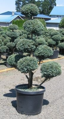 Pom Pom Juniper Evergreen Landscape Front Yard Outdoor Gardens