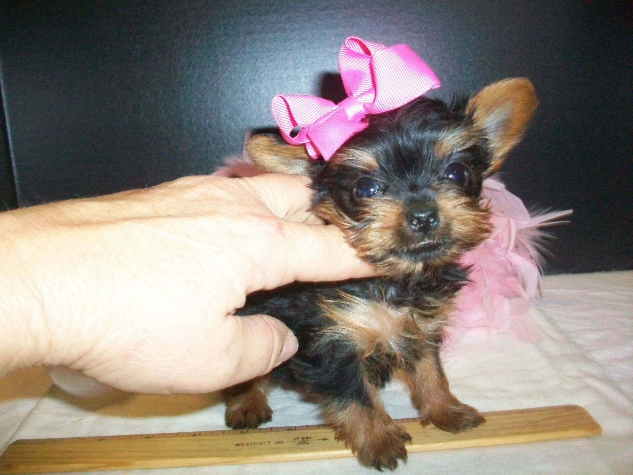 Hello, i am Abby , a micro tea cup Yorkshire Terrier ready