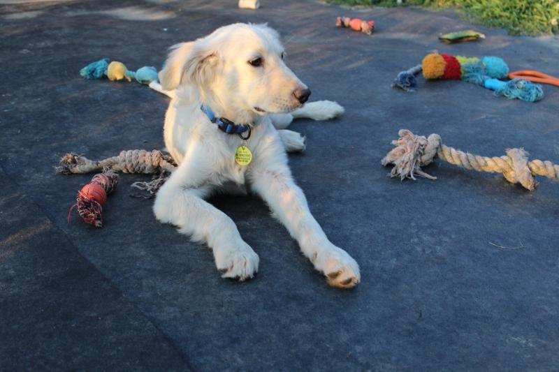 Adopt Duncan on Petfinder Golden retriever, Dogs golden