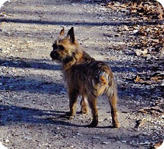 Pin By Jo Wiest On Rescue Dogs Cairn Terrier Cairn Terrier Mix
