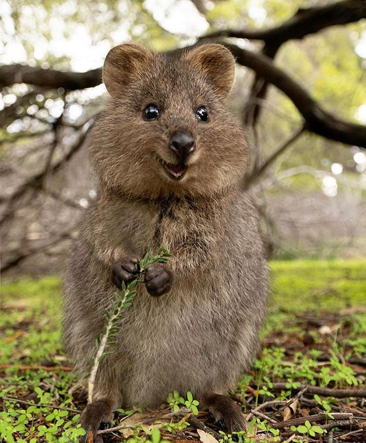 "@instaquokka on Instagram: ""Cutest thing in 2020 