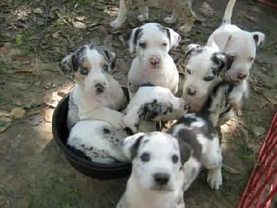 Pure Breed Catahoula Puppies Dog Breed Info Catahoula Leopard
