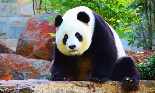 Funi Adelaide Zoo #Dailyshoot #leshaines Funi Adelaide Zoo. With all of the millions of pictures of these amazing Pandas I thought I should just try and get a solid shot, so concentrated on my focus and composition. Funi is gorgeous and was happy to be frustratingly unhelpful in posing. Please with the overall though and never realised how difficult it is to shoot wildlife, even in a Zoo! The rock she is sat on is air conditioned!! Luxury.