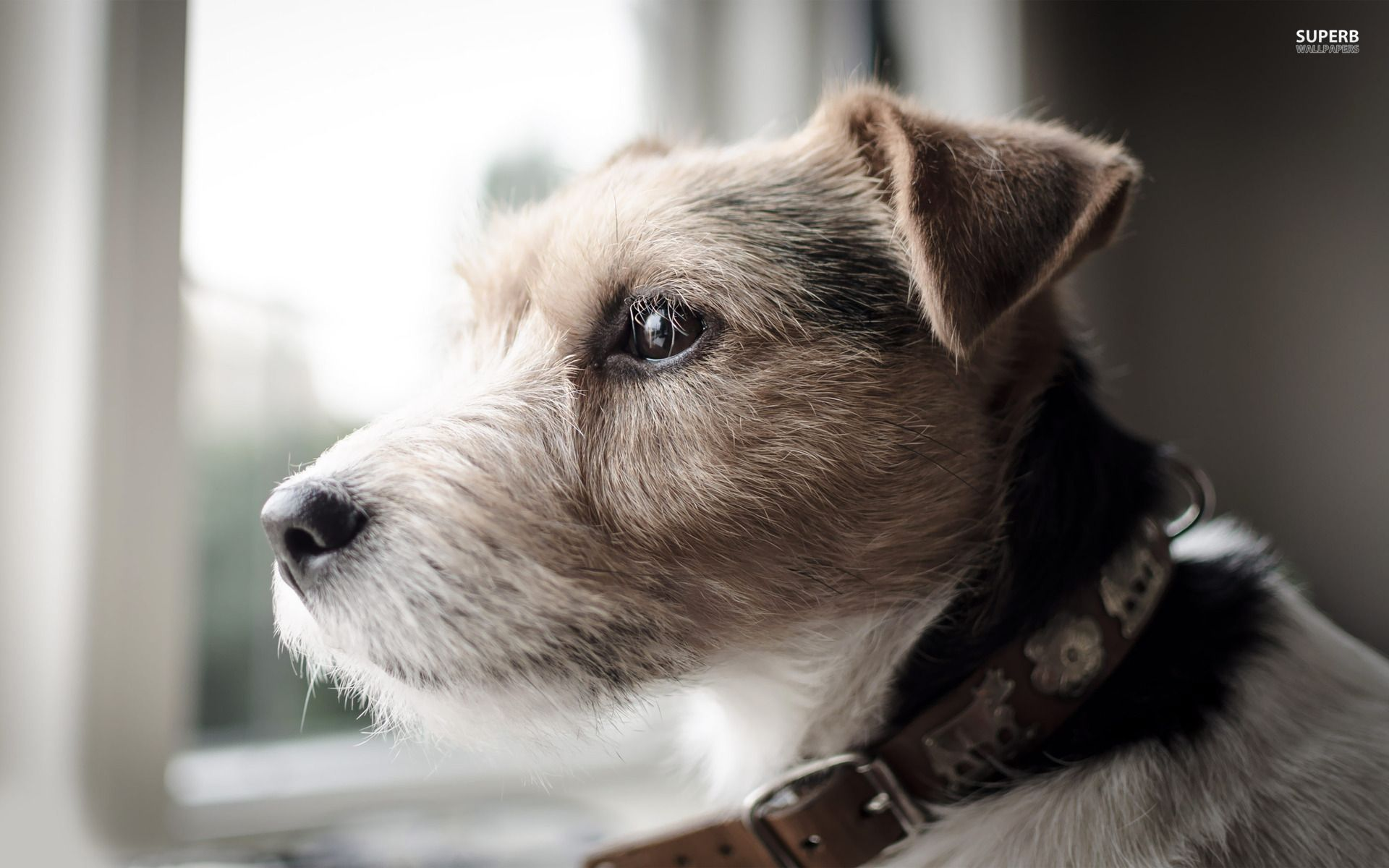 Russell Terrier With Images Terrier Dog Breeds Parson Russell