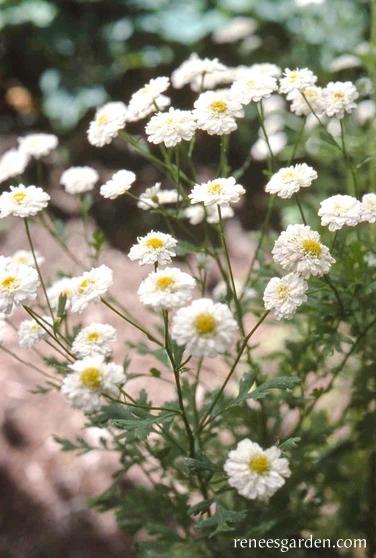 White Wonder In 2020 Feverfew Feverfew Plant Long Blooming Perennials
