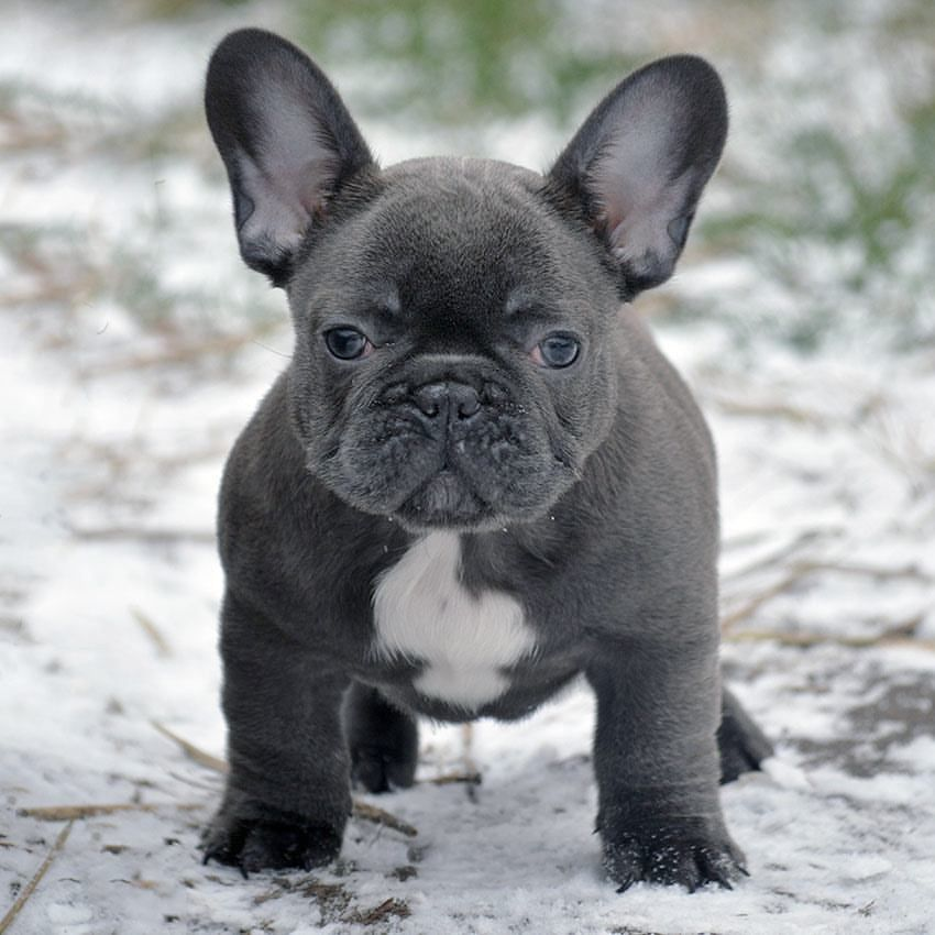 For Sal French Bulldog Breed Blue French Bulldog Puppies