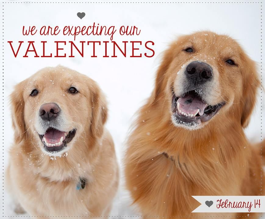 Cant wait for the puppies puppies animals golden