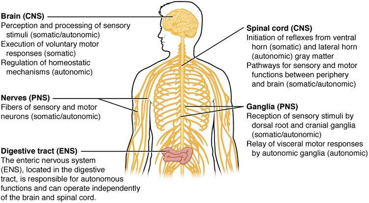 Botox enters the nervous system. This is a diagram of the CNS with ...