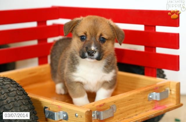 Welsh Corgi Pembroke Puppy For Sale Corgi Welsh Corgi Puppies Pembroke Welsh Corgi Puppies