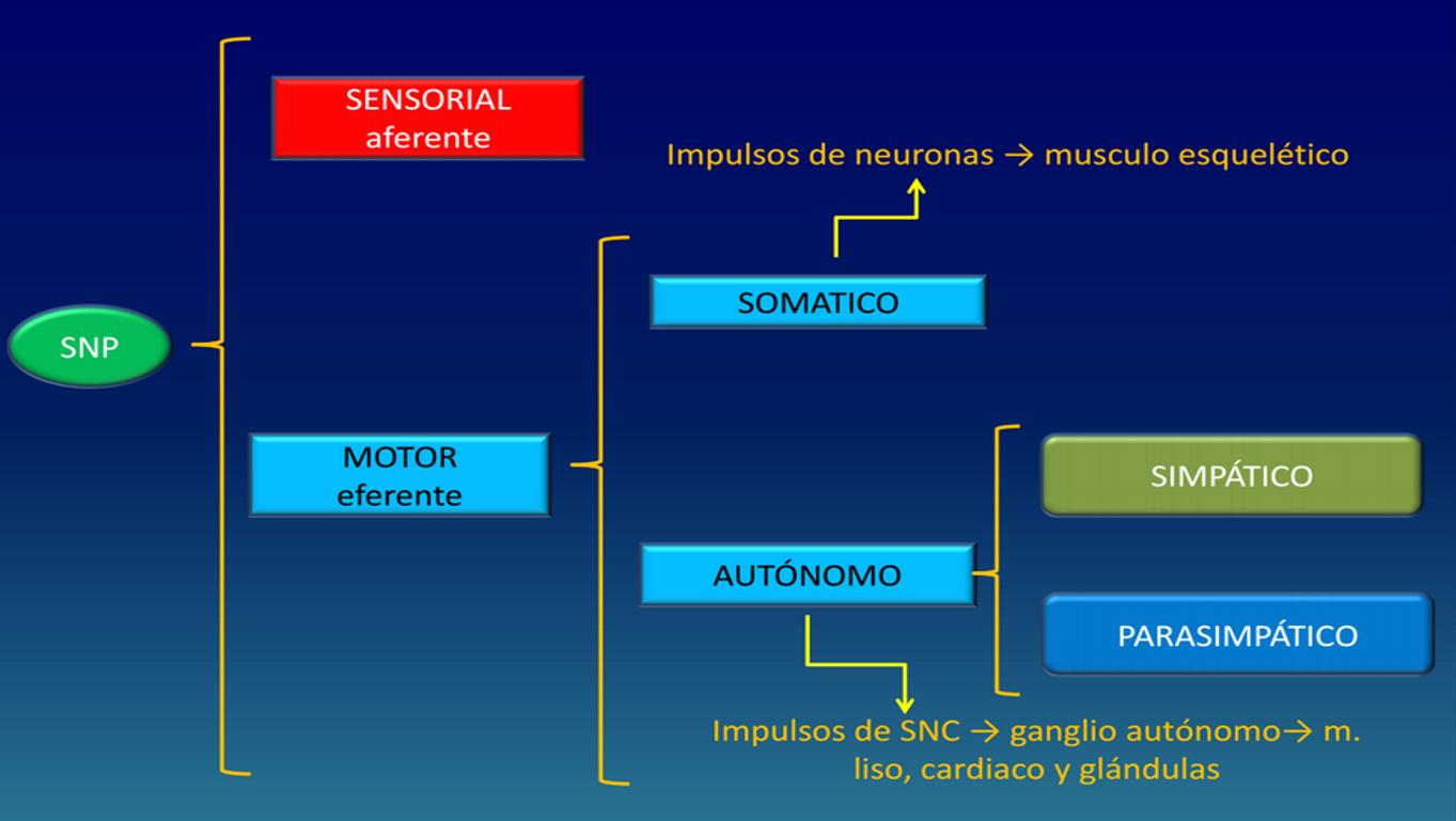 División del sistema nervioso periférico.