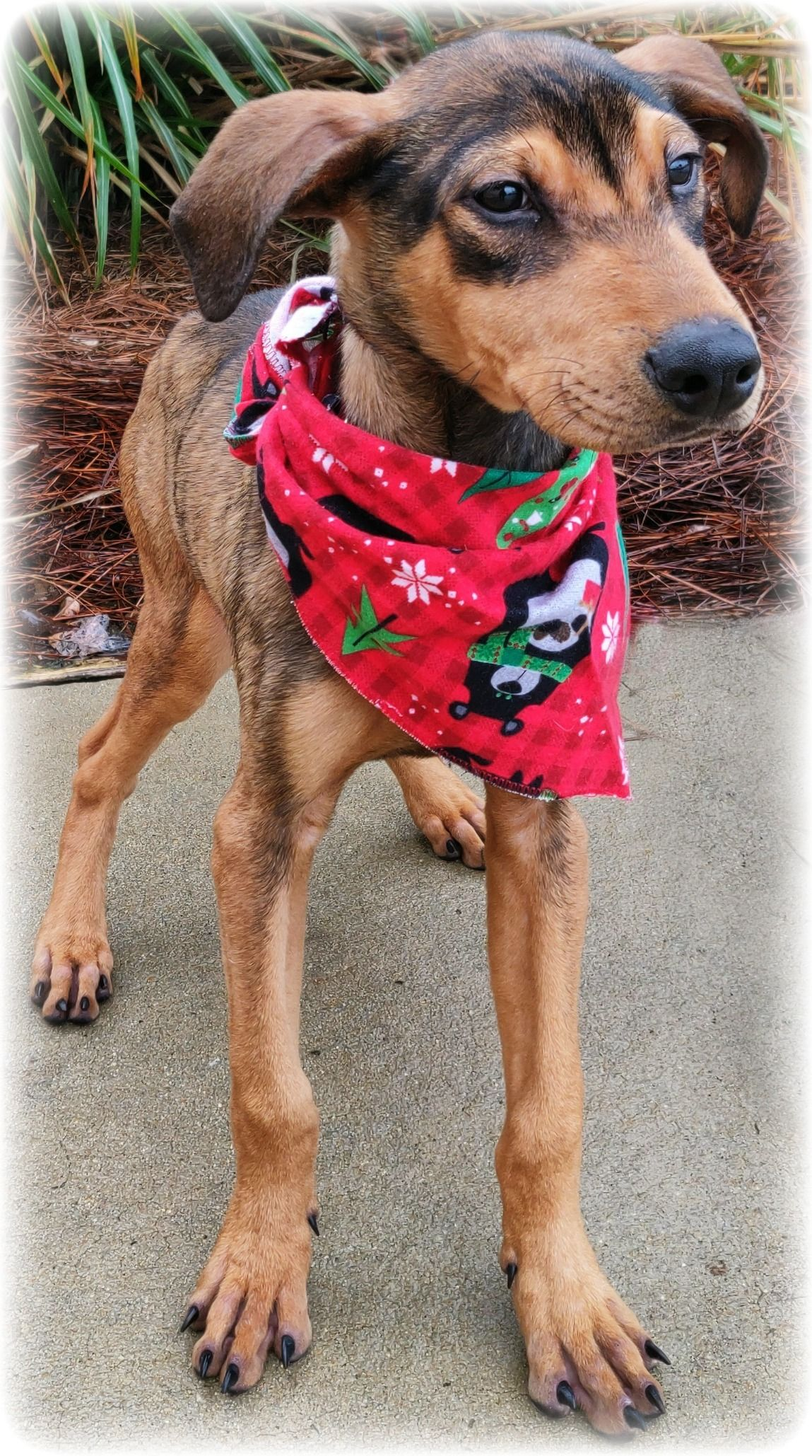 Adopt Kross on Rescue dogs, Animal rescue, Sweet dogs