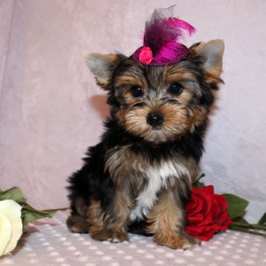 Akc Yorkie Puppies Available Iowa City Ia Asnclassifieds Yorkie Puppy Teacup Yorkie Puppy Yorkshire Terrier Puppies
