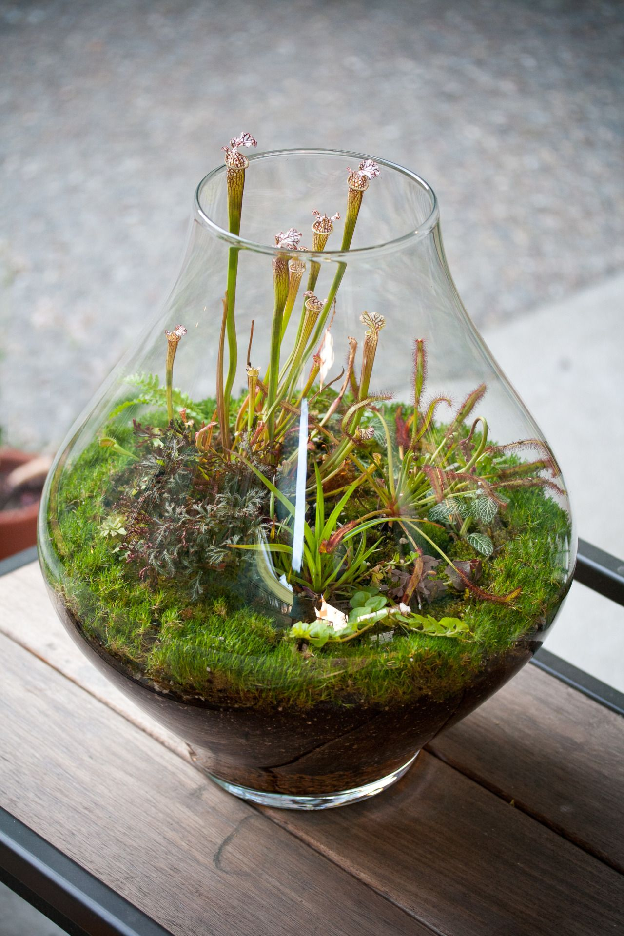 Lovely Glass Terrarium With Sarracenia Drossera And Mosses Truly