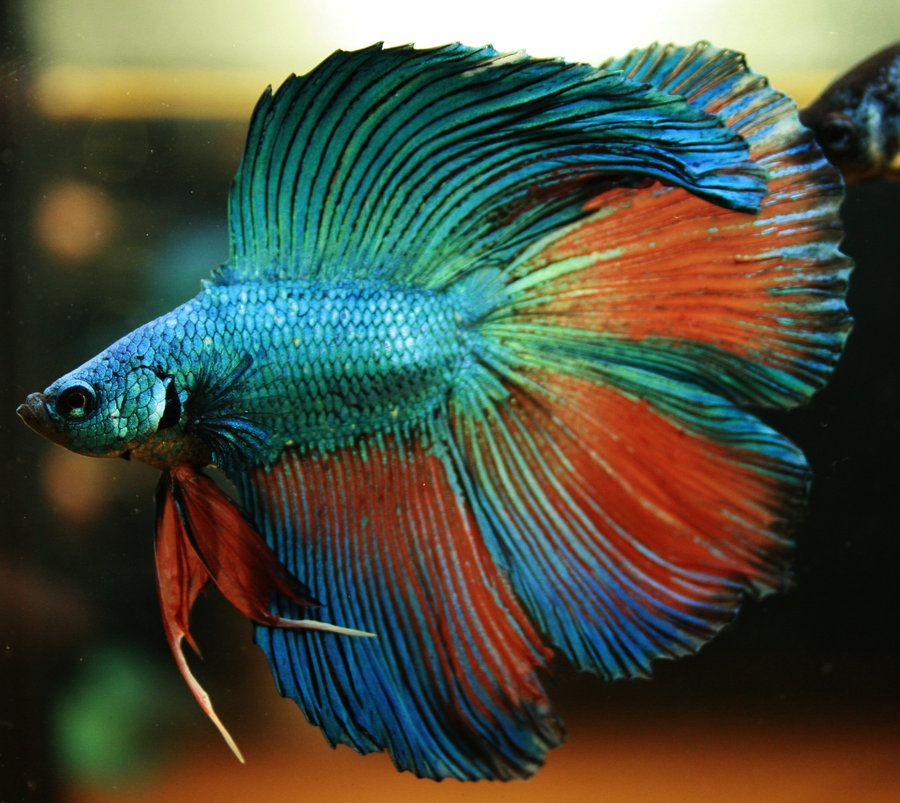 Dt apalala dragon male by happybettas art bettas ii for Dragon scale betta fish