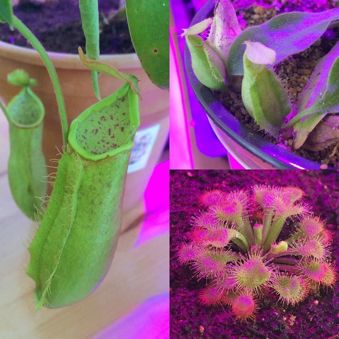 Ya llegaron algunas especies nuevas de carnívoras. Aún no se animan? Hay muchas especies fáciles de cultivar y que son muy interesantes. Recuerden que aquí los asesoramos con lo que necesiten   #plantascarnivoras #drosera #nepenthes #plantnerd by suculentasdzitya