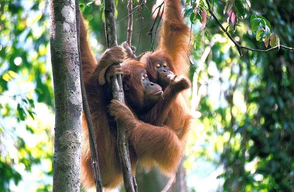 Orangutan (With images) Orangutan, Big animals, Gunung