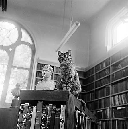 Highgate Literary And Scientific Institution, Library, 11 South Grove, Highgate, Hampstead, Greater London  A cat sits on top of a bookshelf next to a miniature bust in the library at Highgate Literary and Scientific Institution. The library is located to the rear of the lecture room and was converted from former lecture room in 1880.  Photographer: John Gay Date Taken: 1974