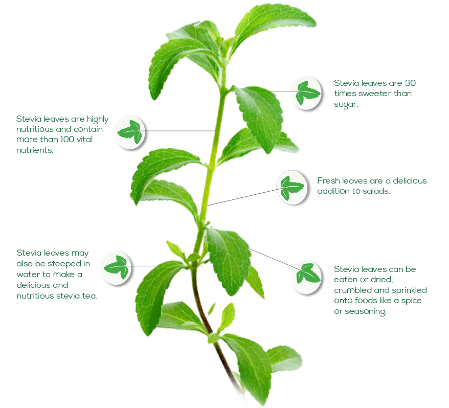 10+ images about stevia on pinterest | preserve, homemade and leaves, Skeleton