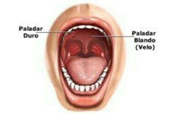 El paladar es una estructura anatomica que divide la cavidad bucal ...