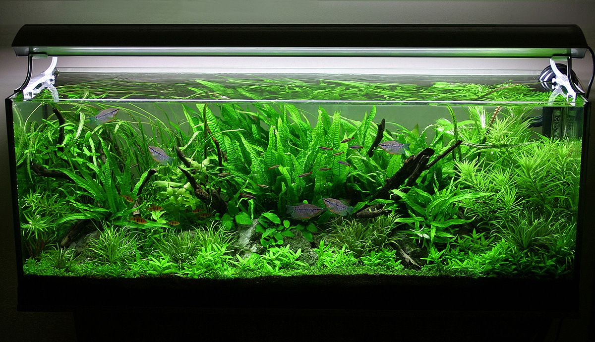 4 tips for arranging plants in a freshwater aquarium for Good fish for small tanks