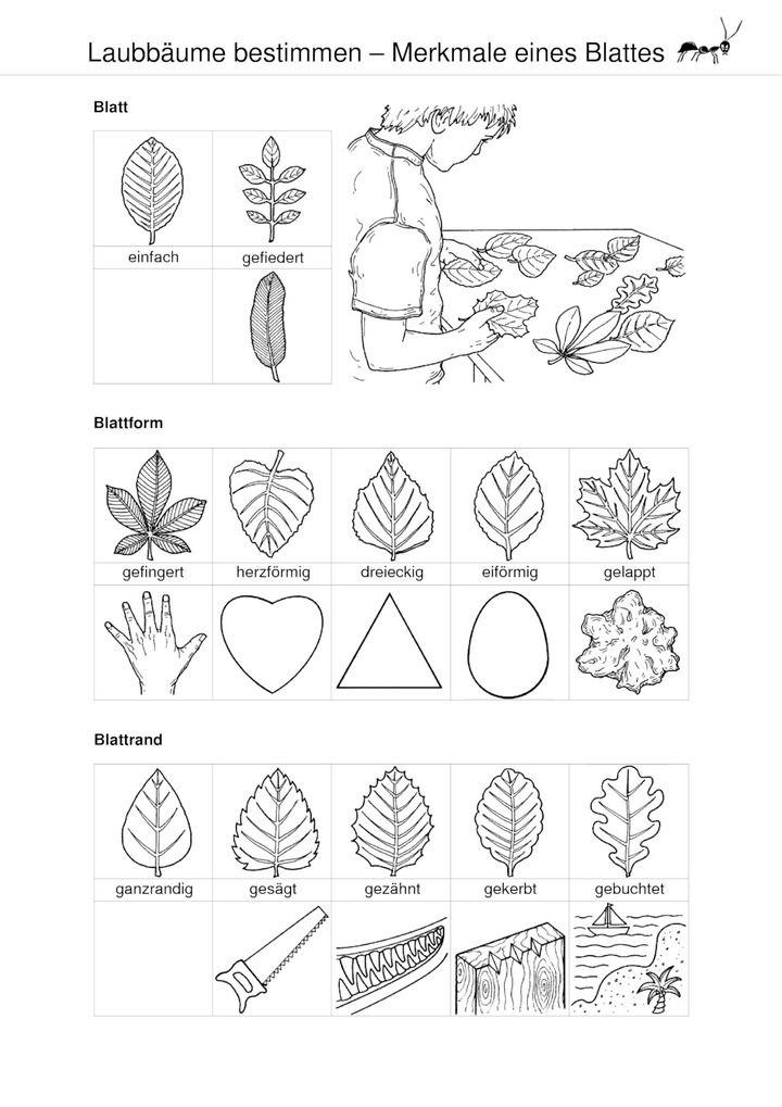 Hochwertig Laubbäume Bestimmen   Merkmale Eines Blattes | Grundschulmaterial |  Pinterest | Laubbaum, Baum Und Blätter