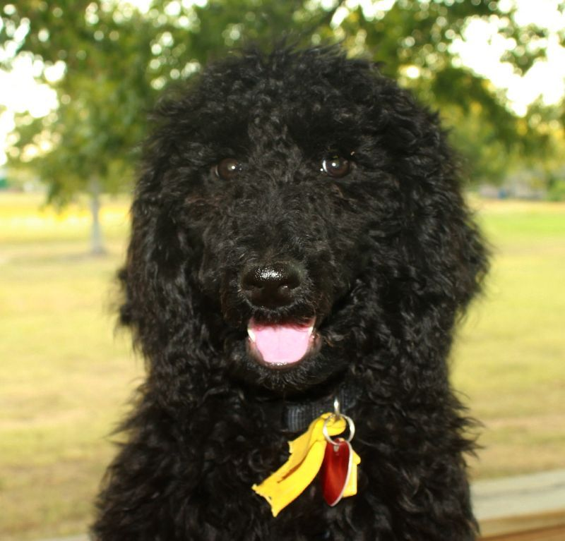 Litter Of 5 Poodle Standard Puppies For Sale In Boaz Al Adn