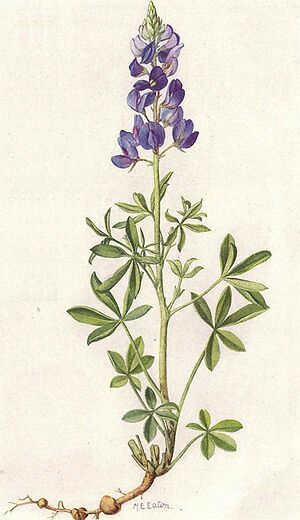 Blue Bonnet (Texas Lupine) Botanical Reference for Tattoo ...