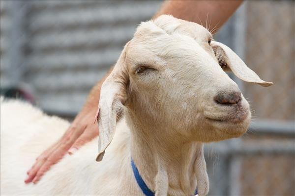 Meet Dill The Most Affectionate Goat Around He S Available To Adopt From Our Brisbane Rspca Animal Care Campus Dill Is Ver Adoption Animals Animal Rescue
