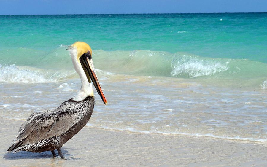 Pelicano Cubano by Dario Nievas on 500px