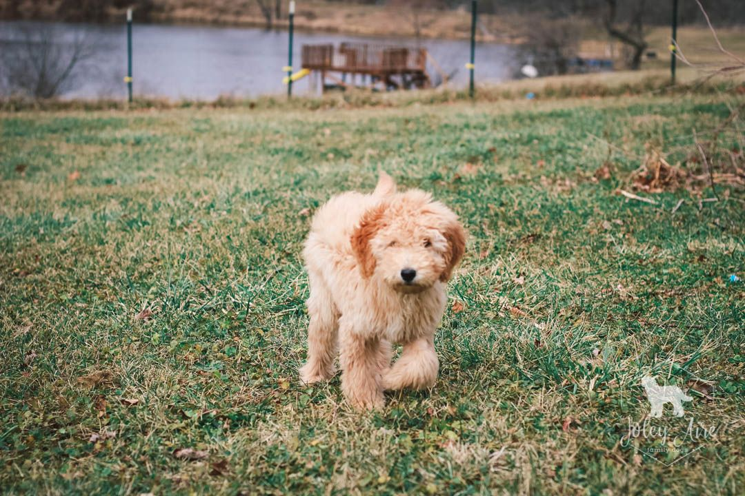 Breed F1b Medium Goldendoodle Gender Male Registry Non Registrable Personality Friendly Dat In 2020 Goldendoodle Puppy Goldendoodle Puppy For Sale Puppies For Sale