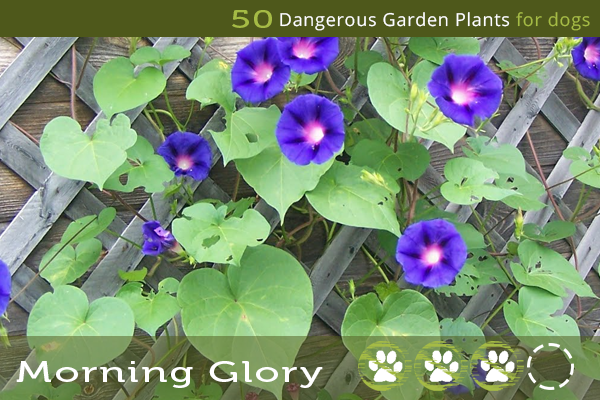 Morning Glory Poisonous Plants For Dogs In 2020 Plants Garden Plants Garden