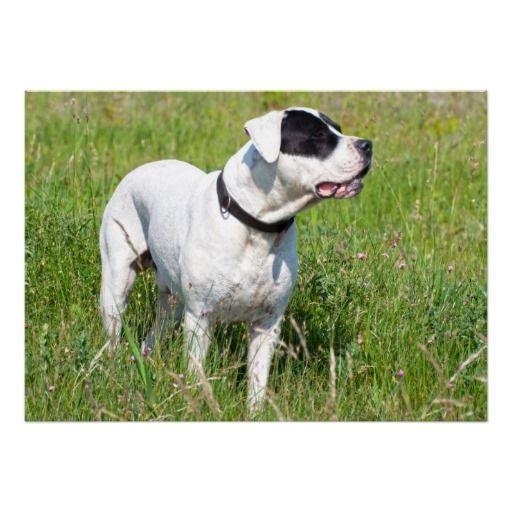 Beautiful Dogo Argentino Poster Zazzle Com Dog Argentino Dogo Argentino Cute Dog Photos