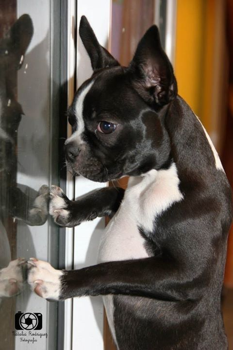 Everything | Boston Terrier Friendzy.... hey, I see you in there and you really need to let me in PLZ!!!  I got lots of kisses for you xo