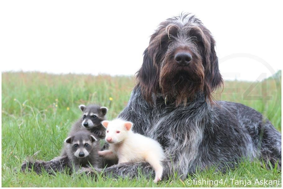 German Wire Haired Pointer with baby Racoons | GWP & other ...