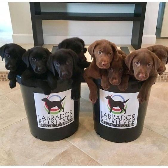 #Labrador  #L...   - I Love My Dogs -  #Beautiful  #blog  #dogs  #Labrador  #Labradors  #Love  #Puppies  #Visit #Labrador #Puppies... Beautiful Labrador Puppies... If you love Labradors visit our blog!