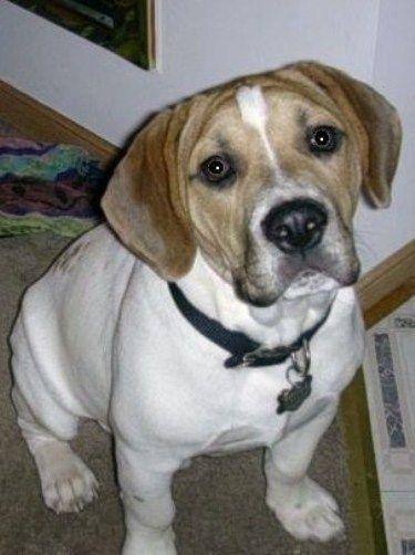 Bulldog Beagle Mix Cute Bulldog Breeds American Pitbull
