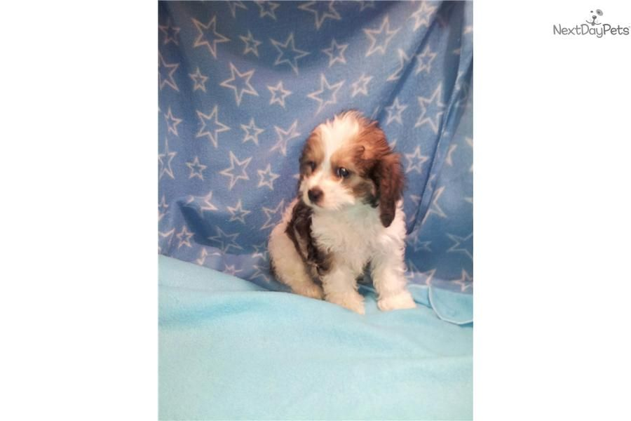Meet male a cute cavapoo puppy for sale for 375 cabela
