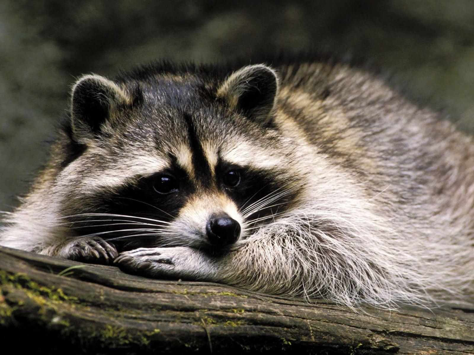 1200 best raccoons u003c3 images on pinterest raccoon art raccoons