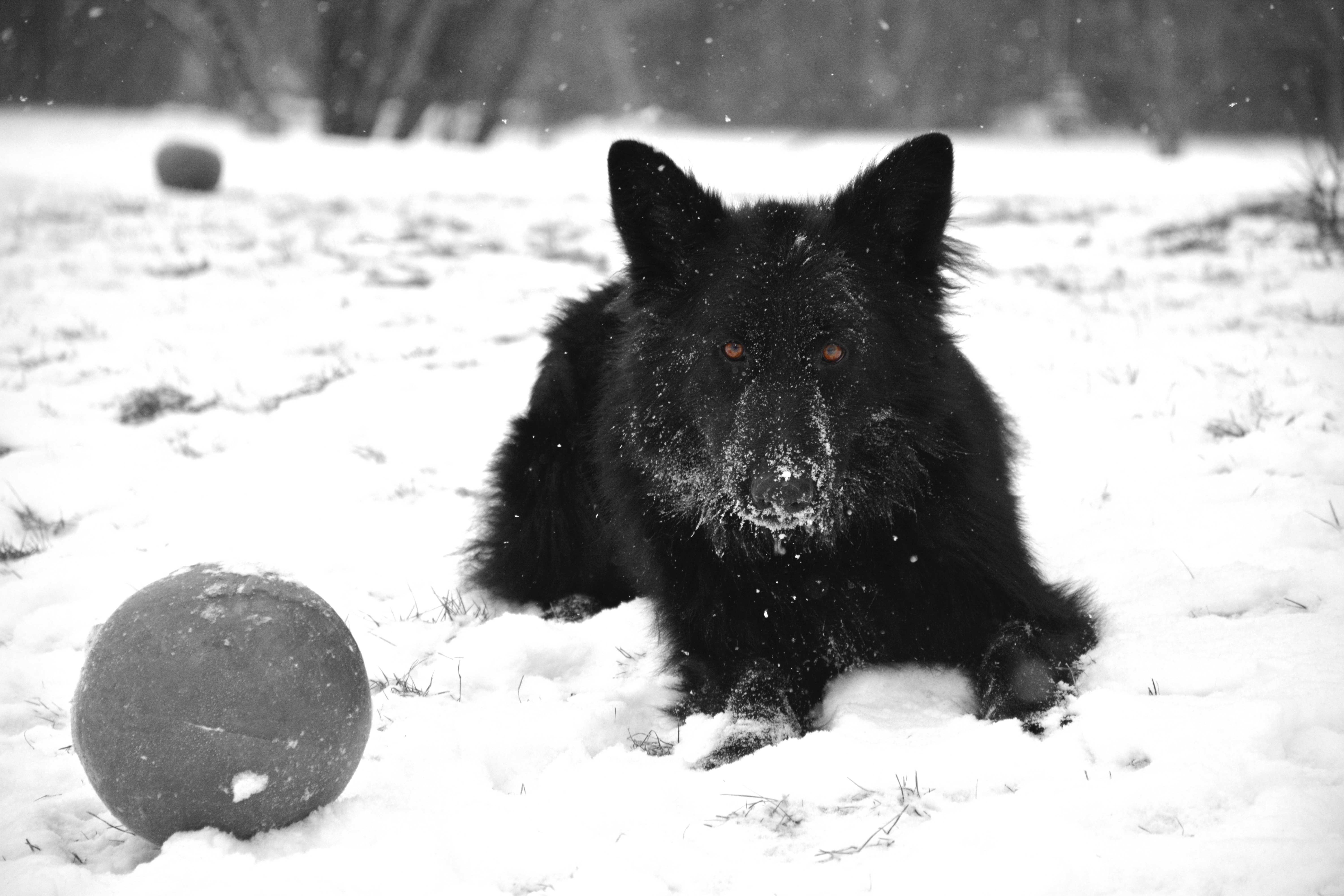 My girl Shadow enjoying the snow - Solid Black Long Coated GSD. #GSD