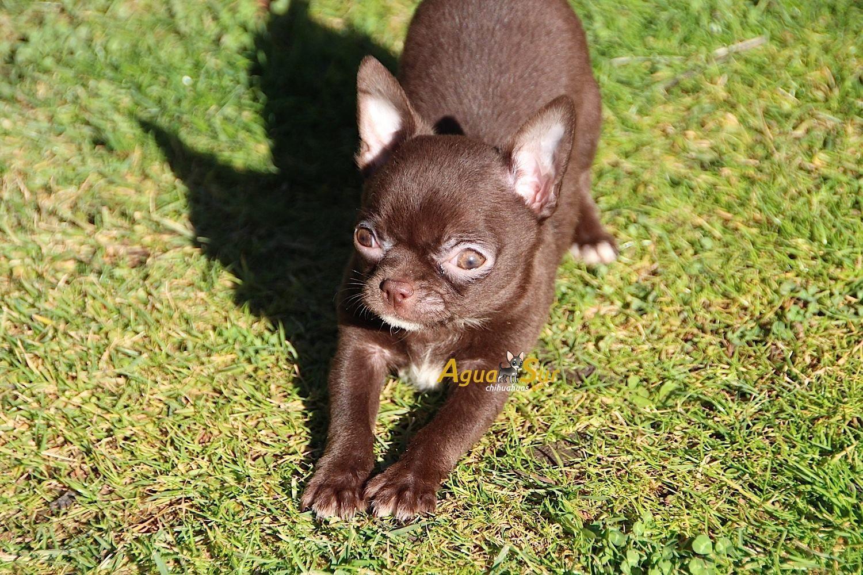 Hoy Os Mostramos Aqui Como Tener Un Chihuahua Chocolate Que Es El