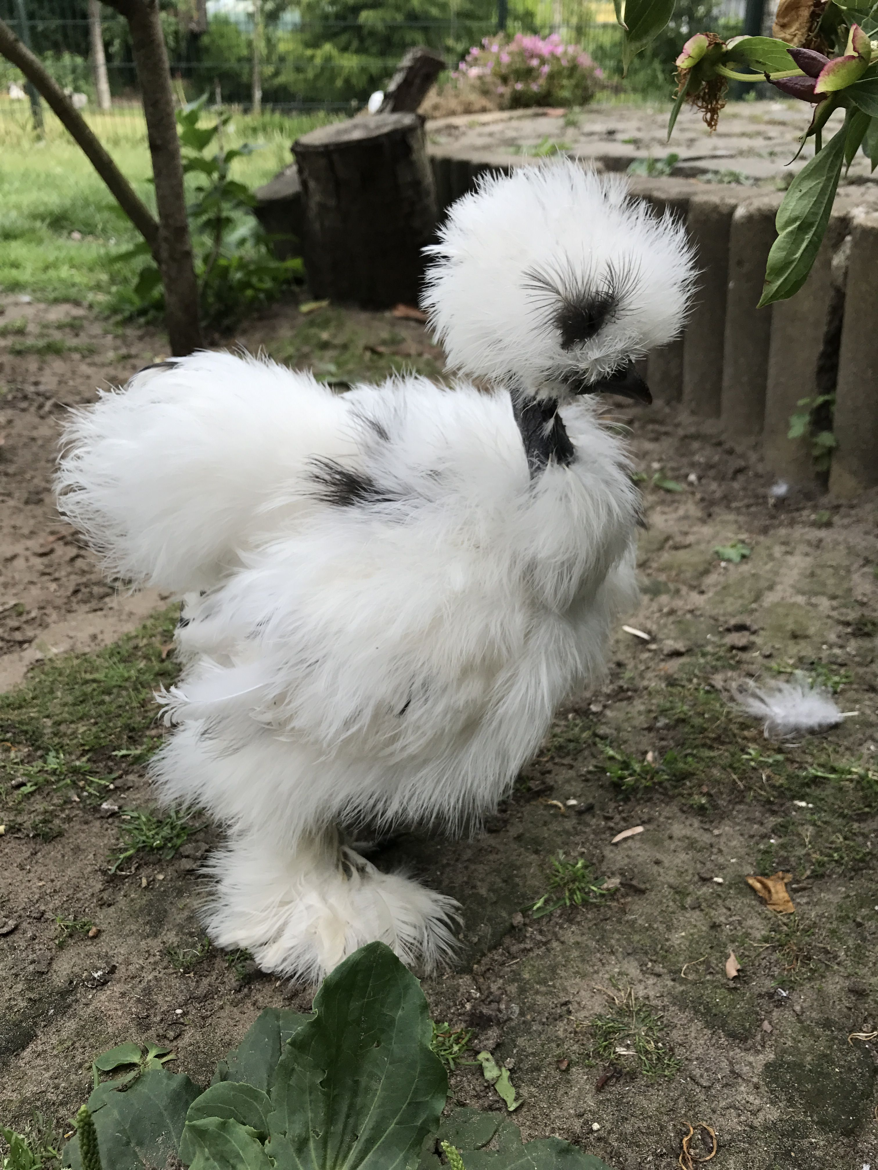 Paint showgirl | Silkie chickens, Funny birds, Cute animals