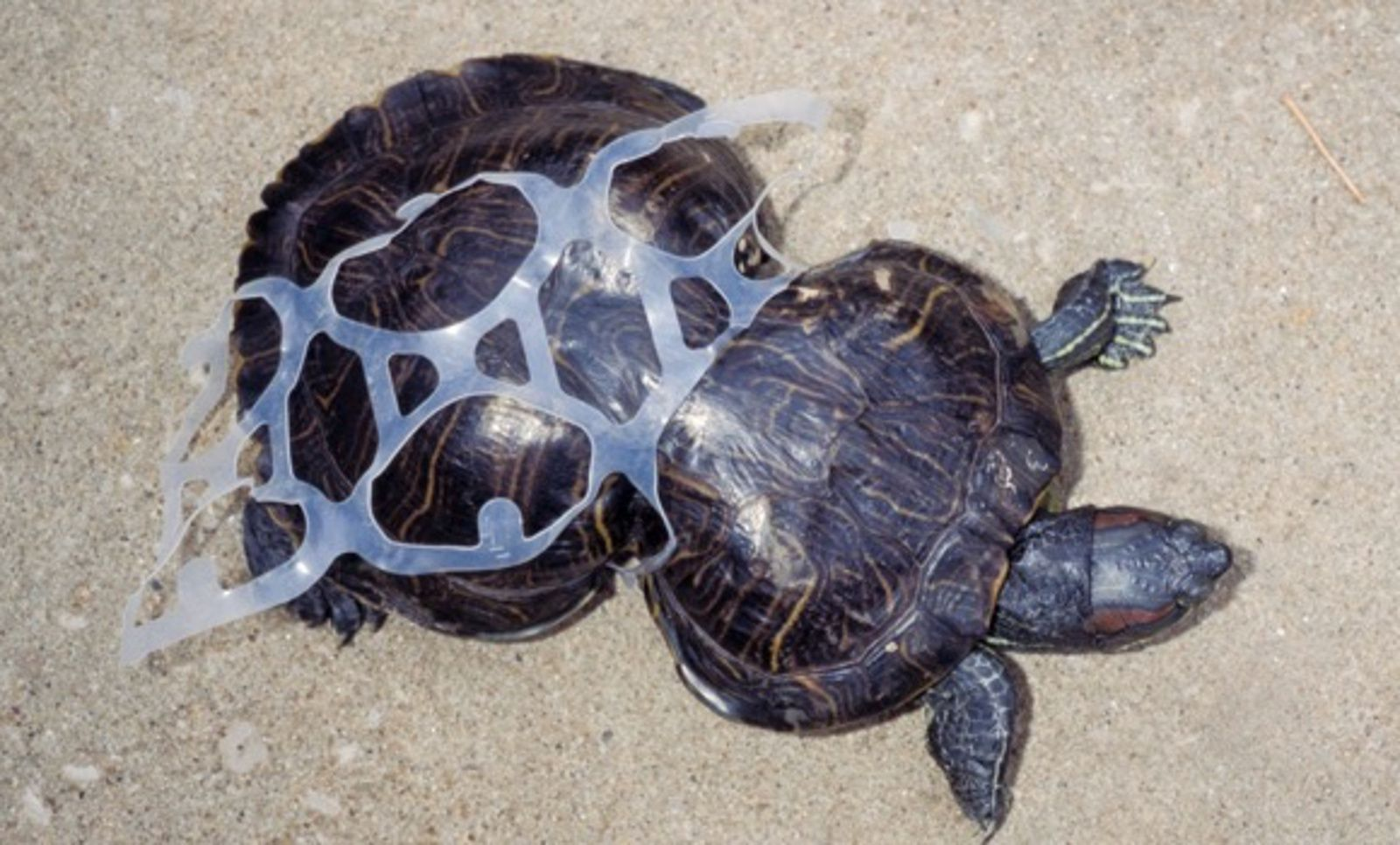 Poor Turtle Permanently Injured By Plastic 6 Pack Ring Is Now An Ambassador To Help Others Turtle Save The Sea Turtles Marine Life